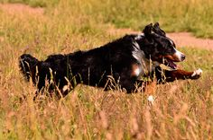Bentley the Bernese Mountain Dog enjoying the Minnesota ...