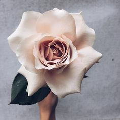 Another impressive bloom from down under, the Fibonacci rose. A giant version from the mch loved rose family. And in blush. Amazing Flowers, My Flower, Beautiful Flowers, Make Up Bride, Rose Family, Planting Flowers, Floral Arrangements, Wedding Flowers, Plants