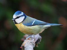Blåmes Blue tit - обыкновенная лазоревка