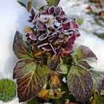 Die meisten Hortensien sind winterhart. (Quelle: imago/Harald Lange)
