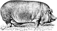 Poland-China pig