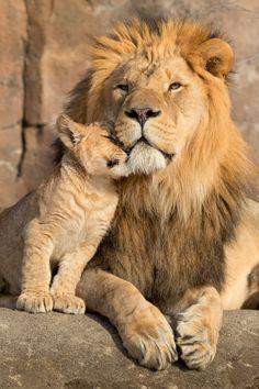 Lion King Animals, Majestic Animals, Lion Images, Lion Pictures, Nature Animals, Animals And Pets, Beautiful Cats, Animals Beautiful, Cute Baby Animals