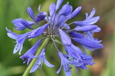 Height Spread Requires full sun and well drained soil. Types Of Soil, Types Of Plants, Agapanthus, Hardy Perennials, Blue Garden, Plant Growth, Blue Flowers, Color Splash, Lily