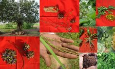 Medicinal Rice based Tribal Medicines for Diabetes Complications and Metabolic Disorders (TH Group-604) from Pankaj Oudhia's Medicinal Plant Database