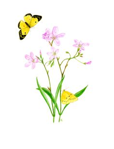 Spring beauty and sulphur butterfly
