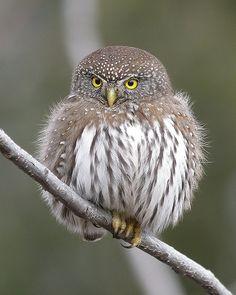 Source: Flickr / gyr  #northern pygmy owl