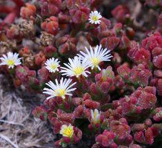 Mesembryanthemum crystallinum: salad, vegetable