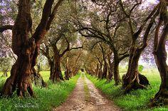 Olivos en el Pazo de Santa Cruz de Rivadulla II