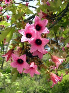 Lacebark Tree (Brachychiton discolor) is a rainforest tree of eastern Australia.