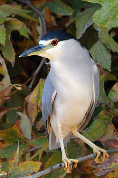 The Black-crowned Night Heron (Nycticorax nycticorax), commonly abbreviated to just Night Heron in Eurasia, is a medium-sized heron found throughout the world except in the colder regions.