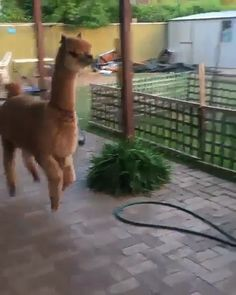 ▶ Playing with an alpaca anyone? 👣 Tag your friends 😂 Video by with an alpaca anyone? 👣 Tag your friends 😂 Video by Cute Little Animals, Cute Funny Animals, Cute Cats, Lama Animal, Cute Alpaca, Baby Alpaca, Alpaca Funny, Cute Animal Videos, Tier Fotos