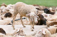 Pecore all'abbeveratoio - thirsty sheep © Pietro D'Antonio