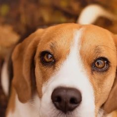Are you interested in a Beagle? Well, the Beagle is one of the few popular dogs that will adapt much faster to any home. Beagle Facts, Dog Facts, Cute Beagles, Cute Dogs, Corgi Beagle Mix, Pocket Beagle Puppies, Black Beagle, Beagle Breeds, Purebred Dogs