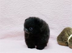 black, cuteness, fluffball, fluffy, furry, fuzzy, pom, Teacup Puppies, teddy bear, tiny