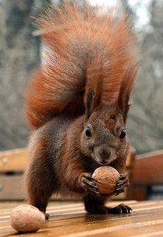 Uno scoiattolo conquista una noce nel parco Lazienki di Varsavia, Polonia.