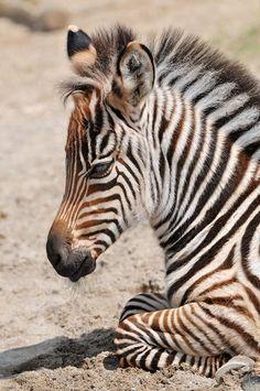 Twitter / SWildlifepics: Very Young Zebra ...