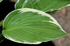 Gardener, Meet Francee -- Hosta, That Is