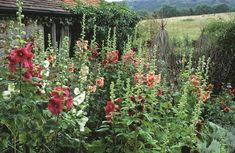 Tips For Gardening How to plant and grow hollyhocks, great hints and tips Growing Hollyhocks, Hollyhocks Flowers, Organic Gardening, Gardening Tips, Flower Gardening, Vegetable Gardening, Weird Plants, Cottage Garden Plants, Cottage Gardens