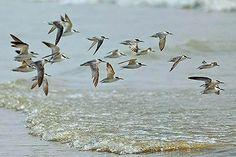 Little Terns, #Mandarmani
