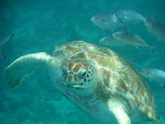 Caribbean Turtle I- Brenda Zyburt | Journey Of The Soul, Healing with Our Celestial Angelic Guides