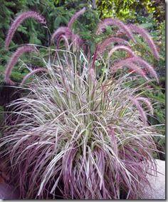 Dwarf hamelin grass ornamental grass pennisetum for Fountain grass varieties