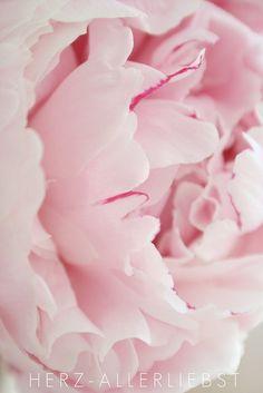 Favorite flower | light pink peonies | Di: herz-allerliebst | Flickr - Photo Sharing!