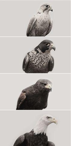 Prairie Falcon, Peregrine Falcon, Harris' Hawk, Bald Eagle birds photography by Troy Moth