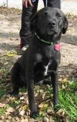 Fay is an adoptable Black Labrador Retriever Dog in Bandera, TX. Fay is about 3 years old and weighs 45 lbs. She is medium size and has a short tail which looks like it may have been docked. She is a ...