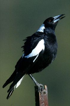 Australian Magpie - this one's singing/warbling. These birds tame easily and will not swoop if you feed them regularly.