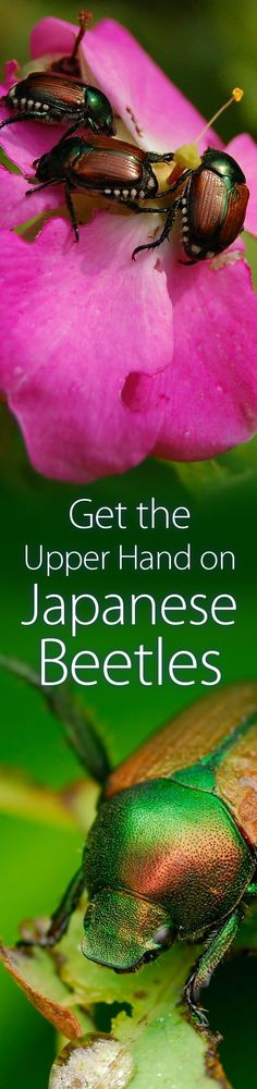 Get the Upperhand on Japanese Beetles | Yard Central