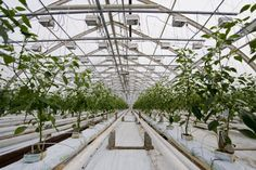 Greenhouse hydroponic peppers...