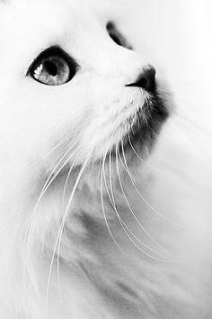 Blanc #White #kitten