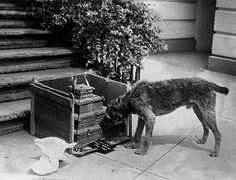 Laddie Boy, one of First Lady Florence Harding's dogs, chows down on birthday cake at the White House [1921-23]