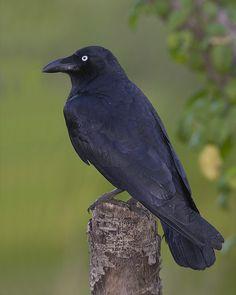 Torresian Crow  (Corvus orru), also called the Australian crow or Papuan crow,