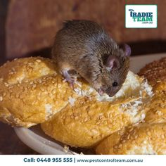 Pest Control Brisbane provide professional pest inspection, spider removal and pest control services in Brisbane. Call 1300 335 753 for FREE quote! Mice Removal, Rat Control, Pest Inspection, Pest Control Services, Removal Services, House Mouse, Rodents, How To Remove, Melbourne