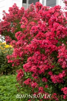 Chica® Red Dwarf Crape Myrtle - Monrovia - Chica® Red Dwarf Crape Myrtle rosy red -Dwarf grower, can be maintained at 3 to 4 ft. high and wide