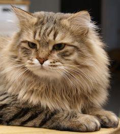 Google Image Result for http://www.tailsofmycat.com/files/photo/1/siberian-cat.JPG