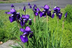 Iris sibirica 'Caesars Brother':  Deer Resistant Wet Site Tolerant Deep blue-voilet is simply gorgeous on this most rugged and easy-to-grow beardless Siberian Iris. It flowers in June.