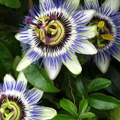 Passion Flower Passiflora Blue Crown