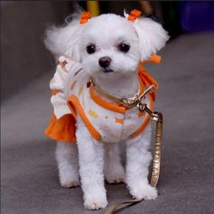 Your cute Maltese definitely needs a haircut. Here is a list of 35 adorable Maltese haircuts your puppy deserves for a clean look. Cute Puppies, Cute Dogs, Dogs And Puppies, Doggies, Tattoo L, Baby Animals, Cute Animals, Dog Haircuts, Maltese Dogs