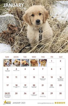 Bea #3284 is our January calendar girl! To order your 2021 Golden Rescue calendar, please email grstrore@goldenrescue.ca #goldenretriever #rescuedog #2021calendar #adoptdontshop January Calendar, Calendar Girls, 2021 Calendar, Rescue Dogs, Adoption, Swag, Animals, Foster Care Adoption, Animales