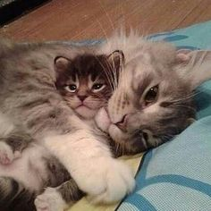 Cute Baby Cats, Cute Cats And Kittens, Cute Little Animals, Cute Funny Animals, Kittens Cutest, Fluffy Kittens, Funny Cats, Pretty Cats, Beautiful Cats