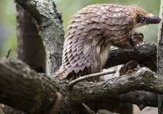 Looking sort of like a scaly anteater, the pangolin is related to dogs, cats and bears and grows to about the size of a fat raccoon. Fat Raccoon, Animals And Pets, Cute Animals, Pittsburgh Zoo, Brookfield Zoo, Amazing Nature, Bald Eagle, Animales, Dogs
