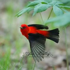Scarlet Tanager | Scarlet tanager | A Meditation | Pinterest