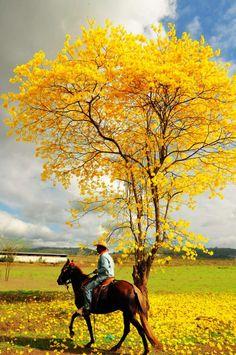 El florecimiento de los guayacanes al sur del Ecuador.