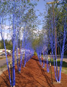 The famous bluebark trees of Kenmore (near Burke-Gilman trail). These trees are awesome