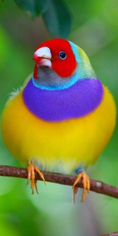 Gouldian Finch- the red headed males have more testosterone, black headed males are not as aggressive and therefore live longer