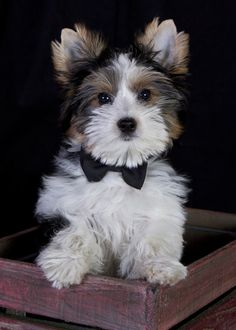 biewer terrier- it is like a bigger yorkie with white. almost looks like a morkie (maltese and yorkie) #biewer