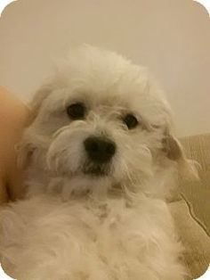 Facts about Luna Breed: Bichon Frise/Cocker Spaniel Mix Color: White - With Tan, Yellow Or Fawn Age: Young Size: Small 25 lbs (11 kg) or less Sex: Female