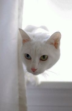Albino cats are not simply white cats. Here's everything you need to know about albino kitties. Cool Cats, I Love Cats, Crazy Cats, Pretty Cats, Beautiful Cats, Animals Beautiful, Cute Animals, Pretty Kitty, Animals Images